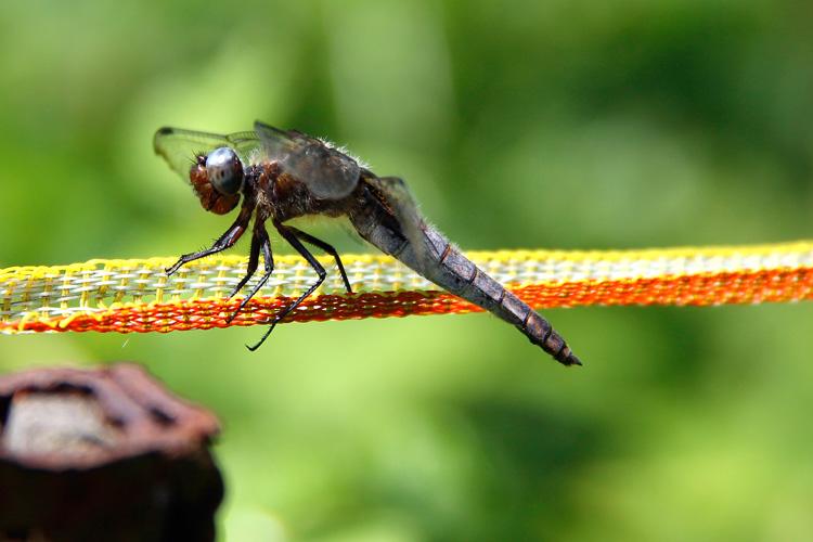 Libellule fauve (± 5 cm de long) - Photo: M.Defour ©